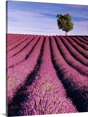 France, Provence-Alpes-Cote d'Azur, Valensole, Lavender fields