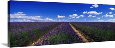 France, Provence-Alpes-Cote d'Azur, Vaucluse, Sault, field of lavender