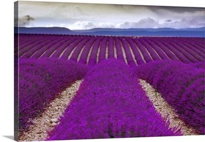 France, Provence, Alpes-de-Haute-Provence, Valensole, Lavender field