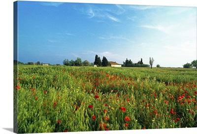 France, Provence, Camargue, Bouches-du-Rhone, poppy field