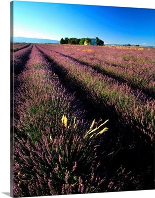 France, Provence, lavender field
