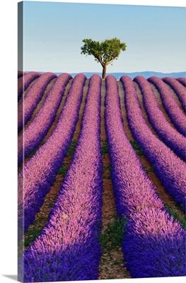 France, Provence, Valensole, Lavender Fields Near Valensole