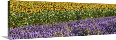 France, Provence, Valensole, Sunflowers and lavender