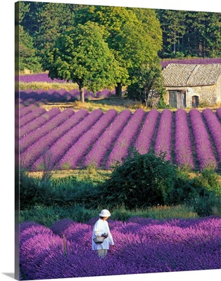 France, Provence, woman in lavender field