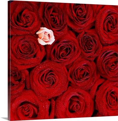 France, Red roses