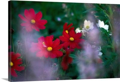 France, Rhone-Alpes, Savoie, Megeve, Kosmos flowers