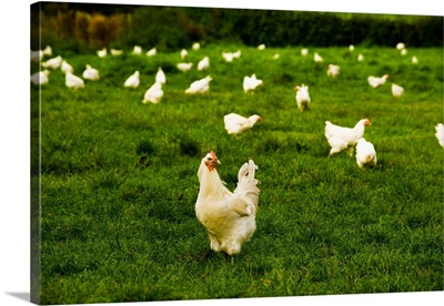 France, Rhone-Alpes, the famous chickens of the Bresse