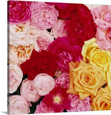 France, Roses