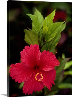 French Antilles, French West Indies, Guadeloupe, Saint Barthelemy, Flower