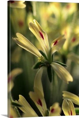 Geranium (Pelargonium Appendiculatum)
