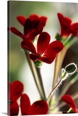 Geranium (Pelargonium Ardens)