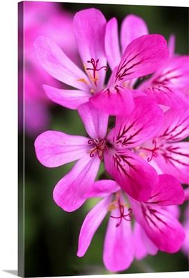 Geranium (Pelargonium Capitatum)