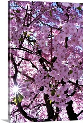 Germany, Dusseldorf, Cherry blossom in the Eko House Japanese Garden