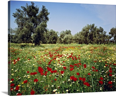 Greece, Crete, Chania, Mediterranean area, Olive grove in spring
