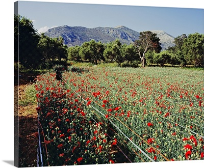 Greece, Crete, Iraklion, Mediterranean area, Cultivation of carnation