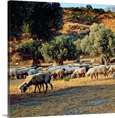 Greece, Crete Island, Rethymno Prefecture, Preveli, Herd of sheep in olive grove