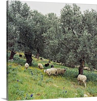 Greece, Crete, Mediterranean area, Olive grove and sheep