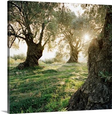 Greece, Crete, Rethymno,  Margarites village, Ancient olive trees