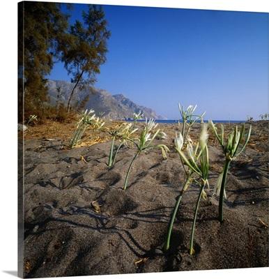 Greece, Dodecanese, Tilos Island, lily marine flowers on Eristos beach