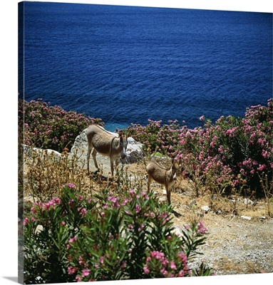 Greece, Donkey mother anch baby on seaside and oleander flowers