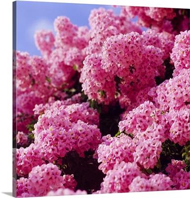 Greece, Ionian Islands, Cephalonia Island, Kefallinia, Fiskardo village, flowers