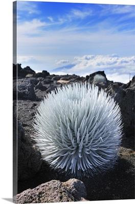 Hawaii, Tropics, Haleakala National Park, Maui island, Haleakala silversword plant