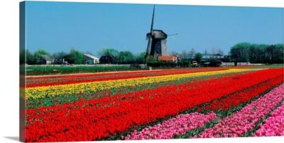 Holland, Tulip field