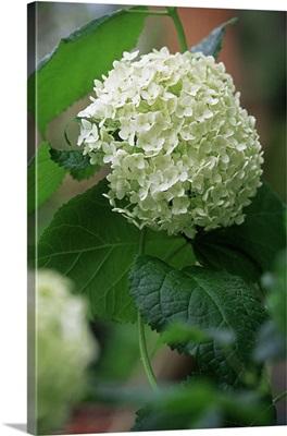 Hydrangea (Arborescens Annabelle)