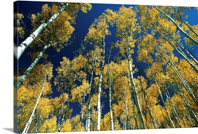 Idaho, Targhee National Forest, Aspen trees in autumn