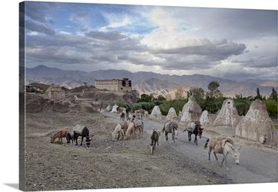 India, Jammu and Kashmir, Ladakh, Herdsman passing Stok Palace