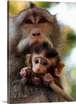 Indonesia, Bali, Alas Kedaton forest, monkey with baby