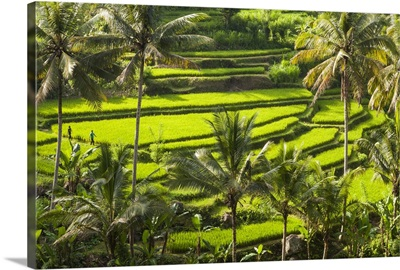 Indonesia, Bali Island, Bali, Ubud, Rice paddy terraces