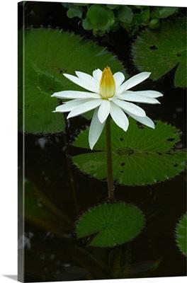 Indonesia, Bali, Lotus flower