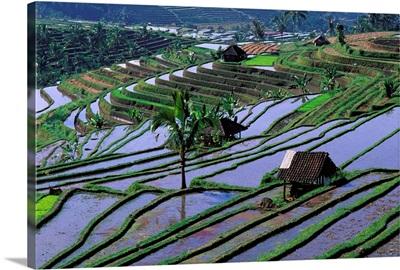 Indonesia, Bali, Rice field