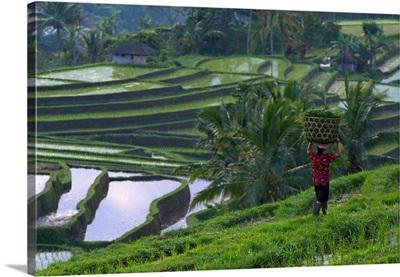 Indonesia, Bali, Rice field in Centre Island