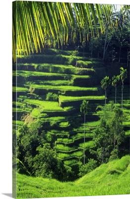 Indonesia, Bali, Rice paddy near Tegalalang village