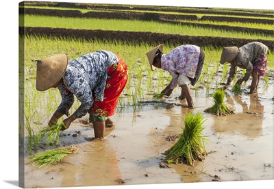 Indonesia, Jawa island, Java, Central Java, Rice paddy workers