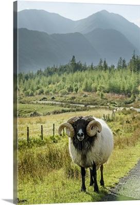 Ireland, Mayo, Great Britain, Sheep on the roadside, Keel, Wild Atlantic Way