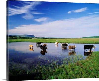 Ireland, Sligo, Cows