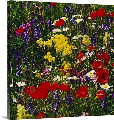 Italy, Abruzzo, Gran Sasso National Park, Flowers in the meadow
