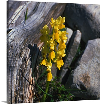 Italy, Abruzzo, L'Aquila district, Gran Sasso National Park, Orchid