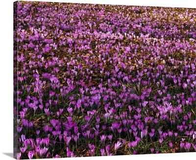 Italy, Alps, Meadow of crocus flowers