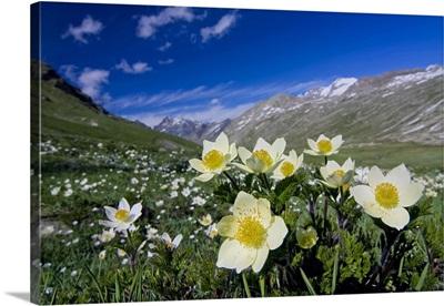Italy, Aosta Valley, Alps, Valsavarenche, Nivolet, pulsatilla vernalis
