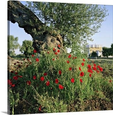Italy, Apulia, Itria Valley, Masseria Borgo San Marco Owner Mr Sandro Amati