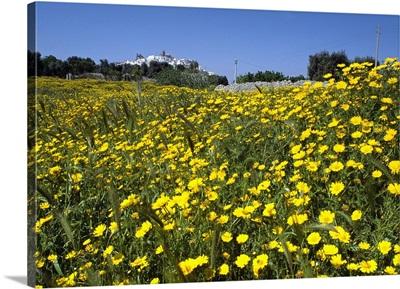 Italy, Apulia, Itria Valley, Ostuni, Flowers fields