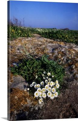 Italy, Apulia, Salentine Peninsula, Salento, Flowers in Sant'Andrea island