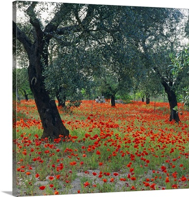 Italy, Apulia, Salentine Peninsula, Salento, Le Cesine natural reserve, olive tree
