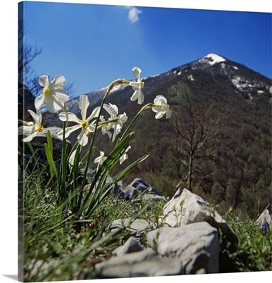 Italy, Basilicata, Mediterranean area, Pollino mountain and white narcissus