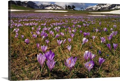 Italy, Calabria, Pollino National Park, crocus flowers