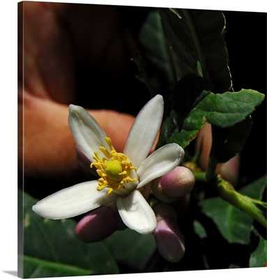 Italy, Calabria, Santa Maria del Cedro town, citron flower